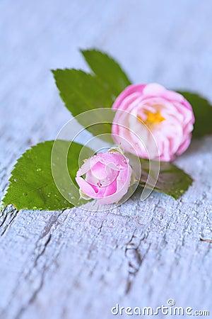 在木桌上的柔和的桃红色玫瑰