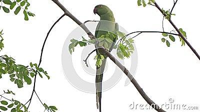 在树枝栖息的绿色鹦鹉 股票视频