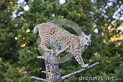 在树桩的美洲野猫