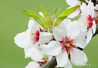 在树的白色开花