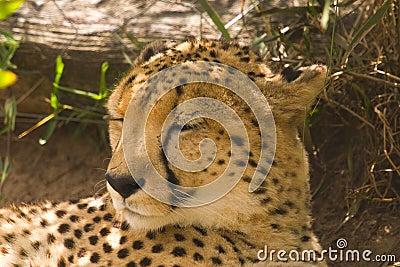 在树荫下的猎豹