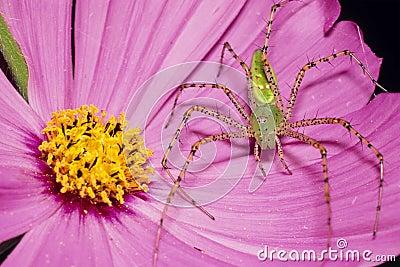 在桃红色花的绿色天猫座蜘蛛