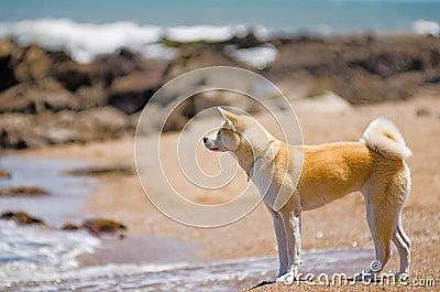 在海滩的秋田Inu狗