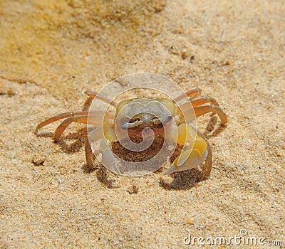 在海晴朗的海滩的螃蟹