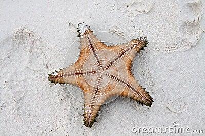在清楚的水的海星