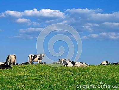 在牧场地的母牛