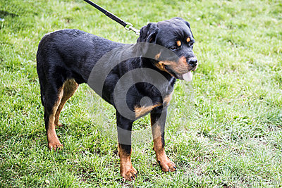 在皮带的Rottweiler