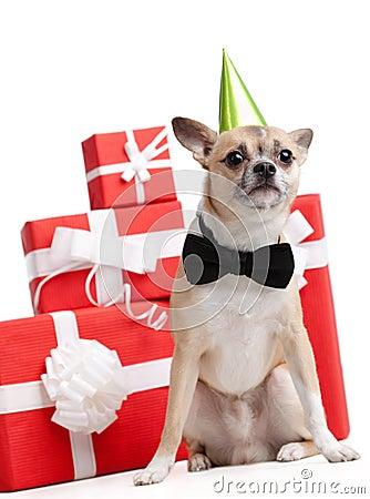 在绿色傻瓜的盖帽的淡黄的小狗