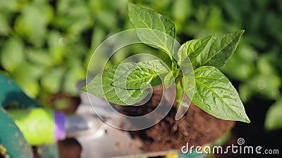 在花园铲子上幼苗的辣椒,特写 影视素材