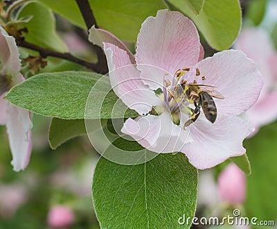 在苹果树的镜头蜂在春天红色开花猴子蜂蜜梦见.开花特写森林图片