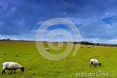 在草甸的绵羊
