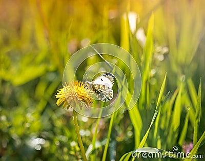 在蒲公英花(特写镜头)的白色蝴蝶.