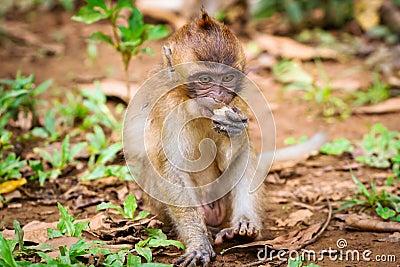 在野生生物的短尾猿猴子