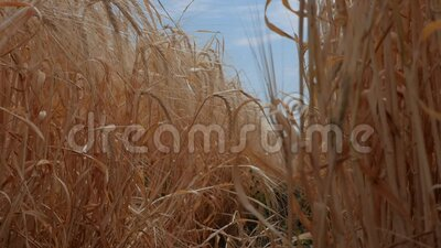 在风中摇曳的熟黑麦 有机食品 慢动作 股票视频