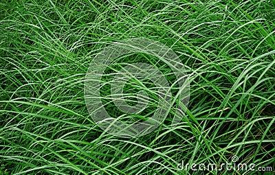 在风的杂草