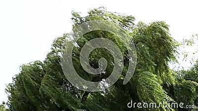 在风的结构树 股票视频