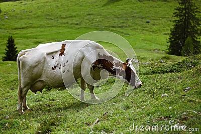 在高山牧场地的母牛