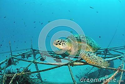 在水下的珊瑚礁的海龟