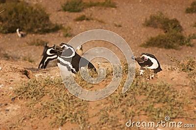 在巴塔哥尼亚的麦哲伦企鹅