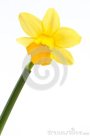 在绽放的黄色黄水仙与词根