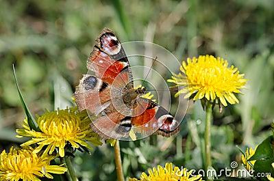 在黄色蒲公英的蝴蝶孔雀