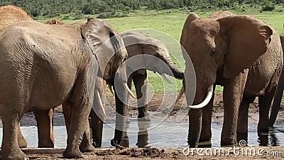 在waterhole的大象 股票录像