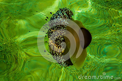地中海水母在绿色水域中