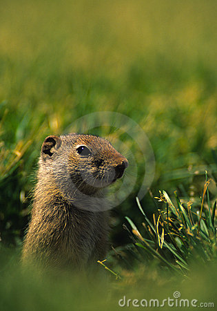 地松鼠uinta