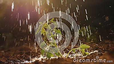 地里浇水的番茄幼苗,闭上 股票录像