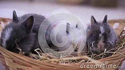 坐入篮子的小兔子 复活节庆祝 股票视频