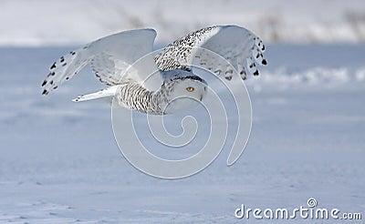 多雪狩猎的猫头鹰