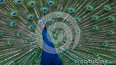 大公在显示大声的联接的电话的孔雀充分的全身羽毛羽毛 股票录像