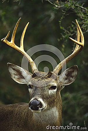 大型装配架接近的白尾鹿