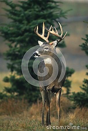 大型装配架结算白尾鹿