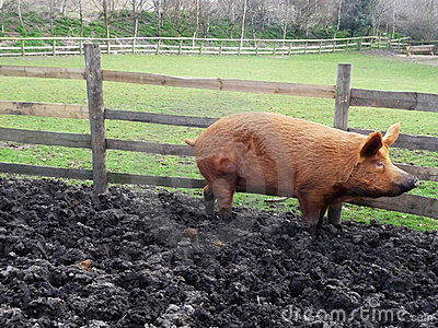 大泥泞的猪