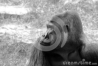 大猩猩的男性纵向。 B&W