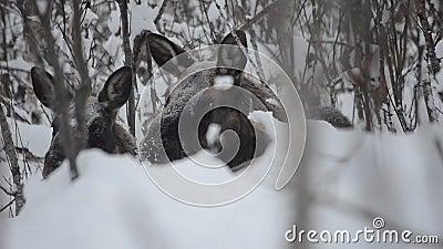 大美丽的棕色休息在深冷的冬天森林里的麋和小牛在北极圈原野 影视素材