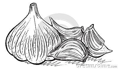 传染媒介手拉的静物画用大蒜.