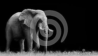 在黑色背景查出的黑白大象.图片