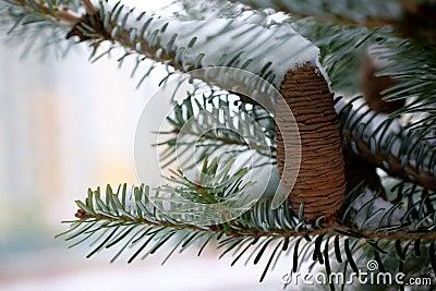 大锥体杉木