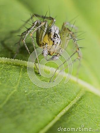 天猫座蜘蛛