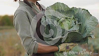 女农拿着卷心菜头,特写 股票录像