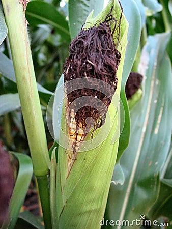 威严的玉米