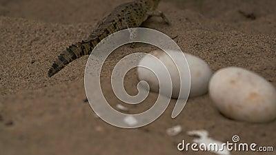婴孩奥里诺科河Croc 未孵化的鸡蛋,Wisirare公园 股票录像