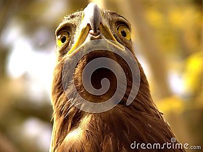 实际的老鹰