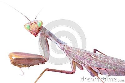 对您的螳螂凝视