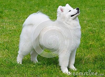 小狗萨莫耶特人
