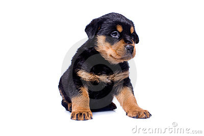 小狗rottweiler