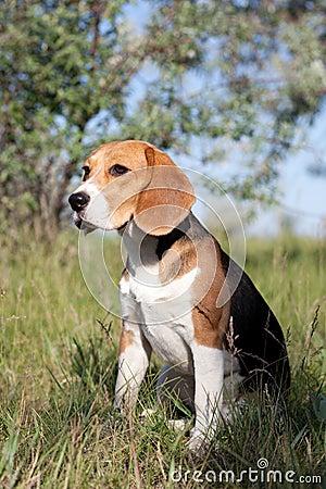 小猎犬品种狗森林.