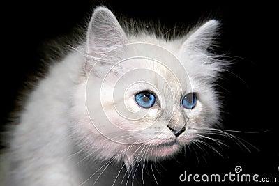 小猫西伯利亚人